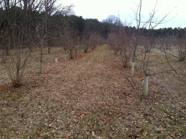Maturing truffle plantation
