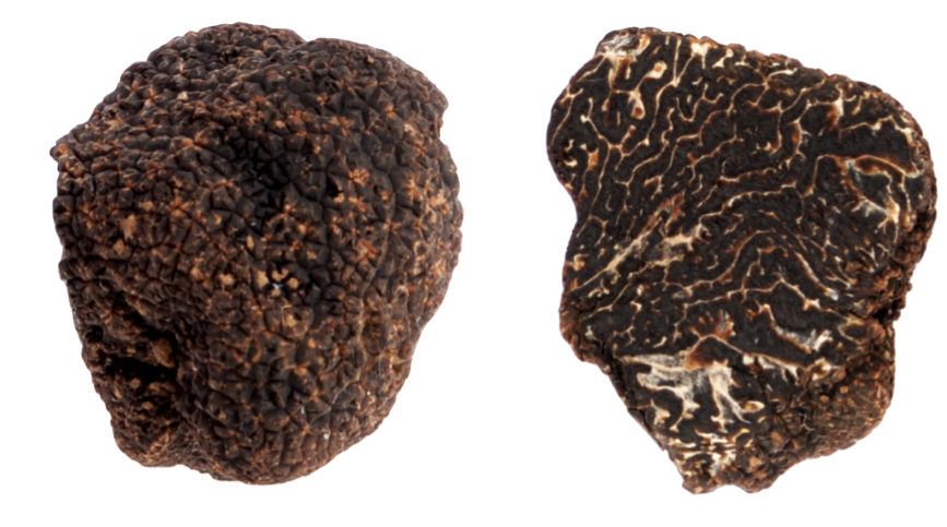 Tuber melanosporum  (black winter truffle) cultivated in Wales