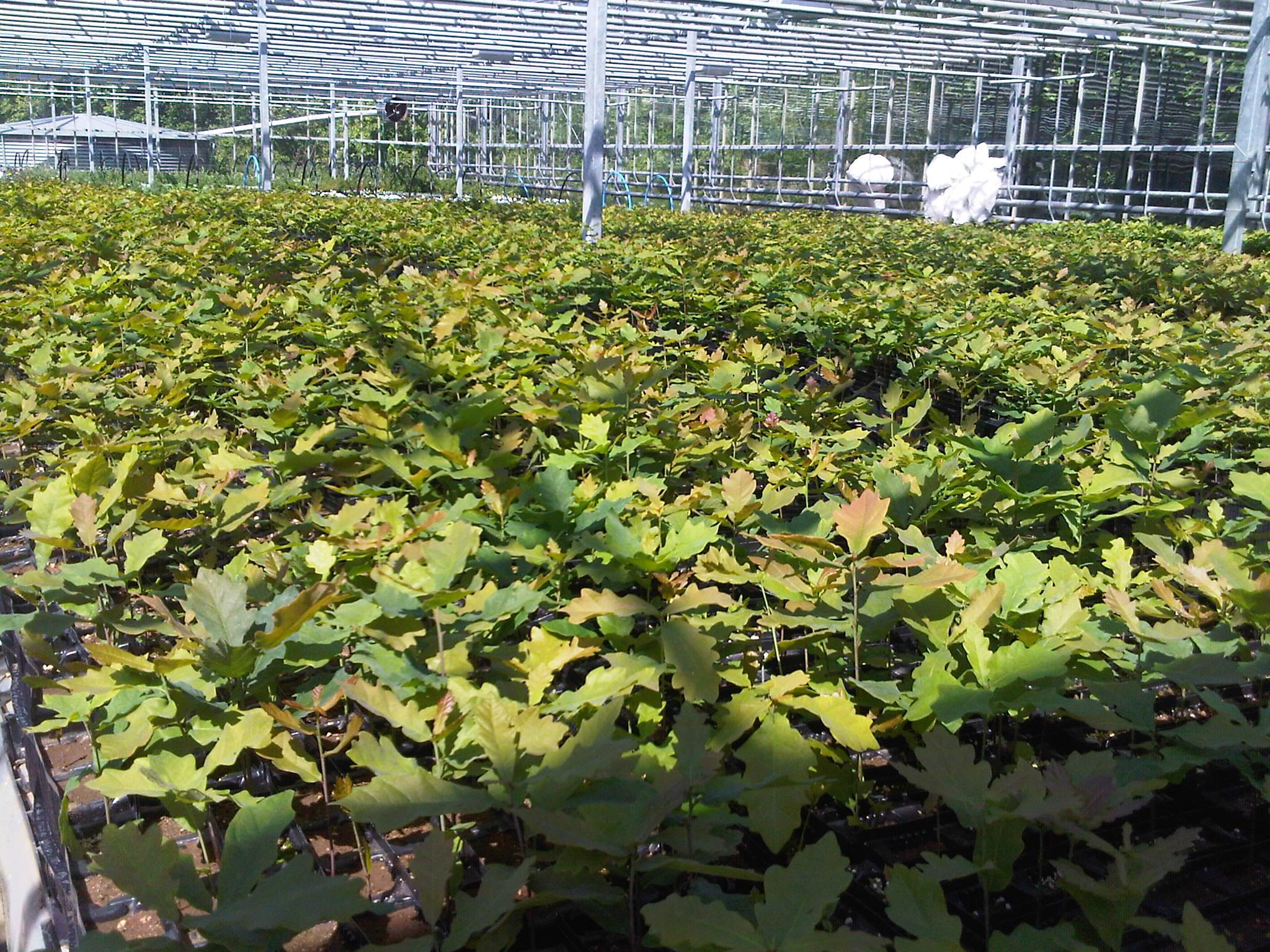 Mycorrhizal Systems' English truffle tree nursery in Lancashire